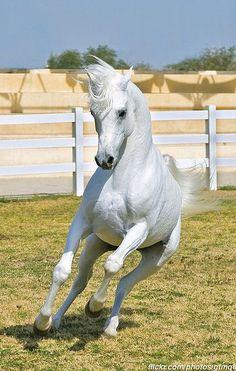Arabian: