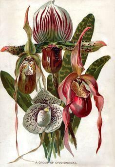 Seed Catalogs from Smithsonian Institution Libraries Slipper Orchids Vintage Botanical Prints, Botanical Drawings, Botanical Art, Art Floral, Plant Illustration, Botanical Illustration, Illustration Botanique Vintage, Impressions Botaniques, Seed Catalogs