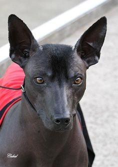 A beautiful example of a Xoloitzcuintle ('Xolo') or Mexican Hairless Dog.