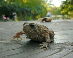 How to care for an american toad