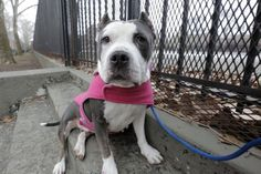 RED ROSE - A1065035 - - Manhattan  Please Share:   TO BE DESTROYED 02/21/16 ***AMAZING AVERAGE RATING** A volunteer writes: It was the eve of St Valentines Day when she wobbled her way into our lives, a bright-eyed doll with a face like an open flower and a smile made of pure sunshine. Soon enough she had a name to match her beautiful nature…Red Rose. Though initially a little unsteady on her feet, after a few days recuperating this smushy senior now walks like a cham
