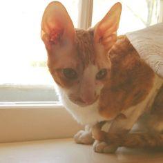 My Cornish Rex kitten, Zip.