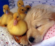 Golden retriever puppy an ducklings !!