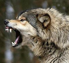 I Am a Wolf--Leave Me Alone!!