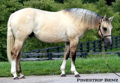 Pinstripe Benz. 2011 colt by Smart Starbuck (chestnut) and out of Dun It For Chex (grulla--though I suspect smokey grulla since he is palomino and her sire is buckskin). Dun It For Chex is gray, so this colt may or may not have grayed out.