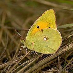 clouded yellow~may have seen one of these on Frampton/Wyberton marsh about 3 years ago, but couldn't get quite close enough for a positive id.