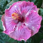 Exotic Hibiscus 'Me-Oh My-Oh'