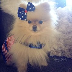 Search Pommy Girls on Facbeook! Sophie, Pom, Pomeranian, dog, puppy, pet, fashion, clothes, patriotic, cute, Fluffy