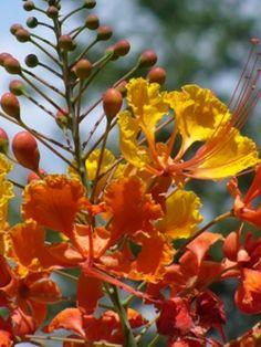 Pride of Barbados, Mexican Red Bird of Paradise, Dwarf Poinciana, Peacock Flower, Flamboyan-de-Jardin, Barbados Fenceflower
