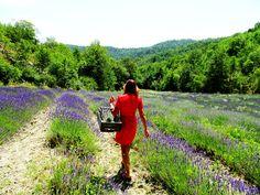 Our lavandino field - lavenderfarm Agriturismo Verdita - www.verdita.com