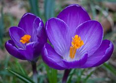 Purple Crocus by Martin Patten, via 500px