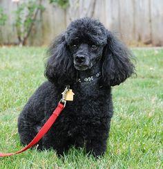 Name: Beau (or Beau II) Breed/Size: Miniature (11 lbs) Color: Black Sex…
