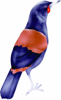 Forest bird tieke / saddleback. In CLOAK OF PROTECTION is hunted by kiore, ship rat, cat, and stoat