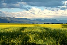 Clouds over Kalispell Montana, canola fields. Canola Field, Glacier National Park Montana, Flathead Lake, Montana Homes, Big Sky Country, All I Ever Wanted, Fields, National Parks, Places To Visit