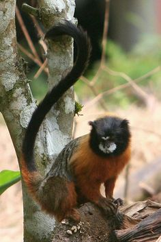 Golden-mantled tamarin (Saguinus tripartitus) raiding a banana garden in Yasuni National Park in the Ecuadorian Amazon   Image code: Yasuni_197   Photographer: Jeremy Hance