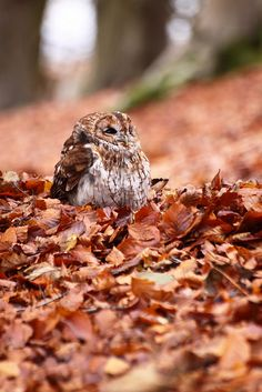 Tawny Owl - crunch & rustle of the golden, flaky autumn leaves Beautiful Owl, Animals Beautiful, Cute Animals, Happy Animals, Unique Animals, Wild Animals, Aluco, Autumn Animals, Tawny Owl