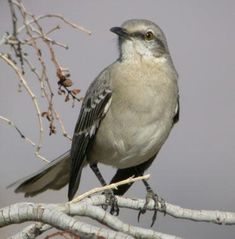Official State Bird of Florida  Florida designated the mockingbird (Mimus polyglottos) as the official state bird in 1927. Northern Mockingbirds have extraordinary vocal abilities; they can sing up to 200 songs, including the songs of other birds, insect and amphibian sounds (even an occasional mechanical noise). The northern mockingbird is also the state bird of Texas, Arkansas, Tennessee and Mississippi.