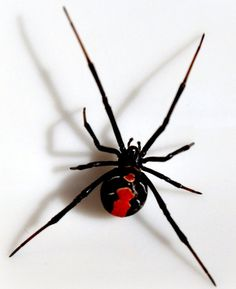 U.S. Black Widow Spider, poisonous and dangerous. (also upside-down) << This spider actually seems to be a Red Back spider with the markings on it's back. They're easily confused with Black Widows due to the extremely similar coloring. ~Riley Arachnid