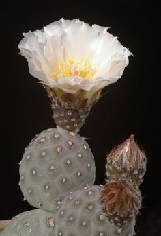 Tephrocactus geometricus becomes more and more popular in collections, as seeds from Loro Huasi area plants becoming more available and gro...