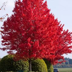 Acer Freemanii Jefferson Red Buy Acer Freemanii Jeffers Red Online or In-Store at Newlands! Acer can be deciduous trees or large shrubs wi Trees And Shrubs, Flowering Trees, Trees To Plant, Tree Planting, Unique Trees, Colorful Trees, Autumn Blaze Maple, Baumgarten, Nature Tree