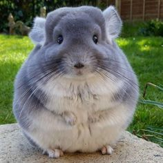 awwww! Cute! : Chinchilla