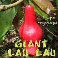 ~GIANT LAULAU~ Syzygium megacarpa RARE FRUIT TREE Red Java Pear LIVE Large Plant | Home & Garden, Yard, Garden & Outdoor Living, Plants, Seeds & Bulbs | eBay!