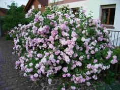 Jacques cartier rose. Dauerblüher