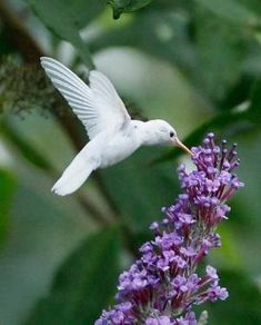An Albino Ruby-throated Hummingbird | Gardening Life by jodi