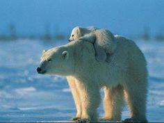 Mom & baby polar bear