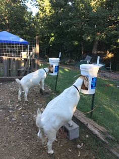 Homemade grain feeders for goats