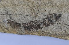 Idrissia carpatica, Oligocene, Menilite Beds, Carpathian Mountains, Poland; Size: Fossil fish is 6,5 cm in lenght on 13,5 v 5,7 cm plate; Photo © Albin48