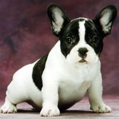I want a French Bulldog puppy named BONBON/Marshmallow :D Someday