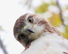 Red-tailed Hawk, Port Weller, Ontario. Red Tailed Hawk, Backyard Birds, All Gods Creatures, Birds Of Prey, Hawks, Bird Feathers, Beautiful Birds, Beautiful Creatures, Animal Kingdom
