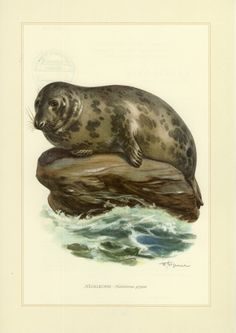 GRAY SEAL or grey seal vintage lithograph from 1956 by OjiochaPrints on Etsy Nautical Art, Antique Illustration, Historical Maps, Nature Animals, Natural History, Mammals, Art History, Lion Sculpture, Poster