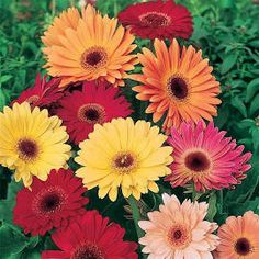 Learn Gerbera Daisy care and enjoy displays of bright, colorful inch flowers, wide color variety. Growing and care tips indoors and out [DETAILS] Gerbera Daisy Seeds, Gerbera Daisy Care, Gerbera Flower, Gerber Daisies, Flower Seeds, Lavender Flowers, Cut Flowers, Flowers Perennials, Garden Seeds