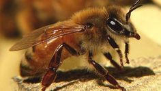 Bees bred to fight back against colony collapse disorder