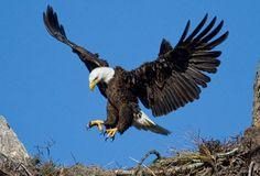Explore the world of Eagle Symbolism, Eagle Totem, Eagle Meaning, Eagle Dream, and Eagle Messages. Spirit Animal Totems and Messages Eagle Totem, Eagle Bird, Eagle Wings, Eagle Wallpaper, Bird Wallpaper, Animal Wallpaper, Wallpaper Ideas, Eagle Images, Eagle Pictures
