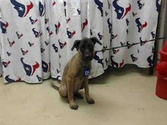 TEXAS - 9/6/16 - #A467057 - AVAILABLE FOR ADOPTION - BELGIAN MALINOIS!