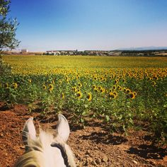 If you want to enjoy some of the very best horse riding in the hills of Malaga whilst staying in luxury accommodation, our short break riding holiday in Malaga may be exactly what you're looking for from just Daffodil Day, Riding Holiday, Spain Holidays, Sunflower Fields, Short Break, Luxury Accommodation, Andalucia, Malaga, Horse Riding