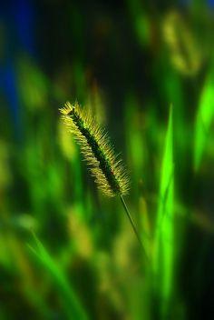 En vert [Green] [Note to self: sent to A. Go Green, Green Grass, Green Colors, Colours, Bokeh Photography, Color Photography, Photographie Macro Nature, Foto Macro, Macro Flower