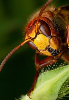 Outstanding macro photography of a wasp by the very talented Ondrej Pakan.