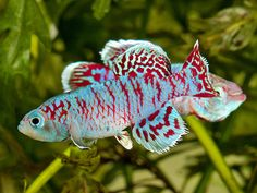 Nothobranchius eggersi (2), via Flickr.