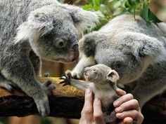 A 350-GRAM KOALA JOEY REACHES FOR ITS MOTHER AT A ZOO IN DUISBURG, GERMANY; FASSBENDER/REUTERS/LANDOV