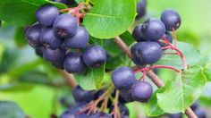 Aronia super berry, also known as a chokeberry.