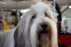 The dogs couldn't contain their joy to be there. | 27 Beautiful Faces From The 2014 Westminster Dog Show Bearded Collie Puppy Dog Puppies Dogs Bearded Collie Puppies, Westminster Dog Show, Best Dogs, Dogs And Puppies, Goodies, Honey, Faces, Pets, Check