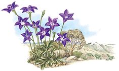 Royal Bluebell Wahlenbergia gloriosa (plant family: Campanulaceae) Floral Emblem of the Australian Capital Territory Australian Native Flowers, Australian Plants, Australian Capital Territory, Plant Information, Botanical Illustration, Planting Flowers, Nativity, Penal Colony, Plant Leaves