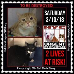 "TO BE DESTROYED 03/10/18 - - Info  Please share View tonight's list here: http://nyccats.urgentpodr.org/ tbd-cats-page/. The shelter closes at 8pm. Go to the ACC website( http:/www.nycacc.org/ PublicAtRisk.htm) ASAP to adopt a PUBLIC LIST cat (noted with a ""P"" on their profile) a… CLICK HERE FOR ADDITIONAL INFO/P&#...-  Click for info & Current Status: http://nyccats.urgentpodr.org/to-be-destroyed-03-02-18-info-urgent/"