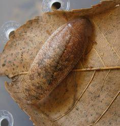 Rhabdoblatta formosana Invertebratedude.blogspot.com Roaches, Bread, Food, Brot, Essen, Baking, Meals, Breads, Buns
