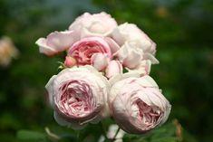 Schönheit, die Kunst der Rosenzucht und gesunde Blühfreude machen die Englische Rose Geoff Hamilton® zu einer beliebten Strauchrose im Garte...