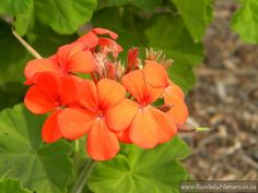 Pelargonium inguinans red